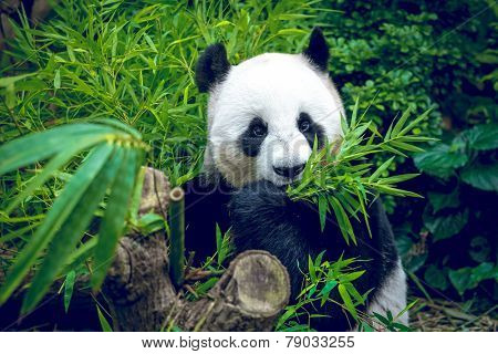 Hungry giant panda bear eating bamboo poster