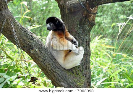 Sifaka Lemur Looking Around His Back