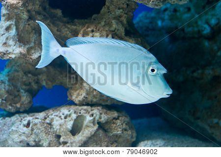 Naso unicornis - bluespine unicornfish