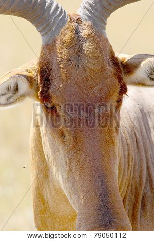 Portrait Of Hartebeest