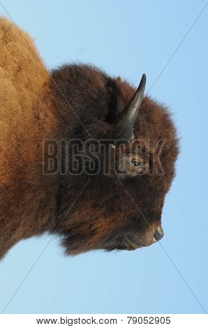 American Bison / American Buffalo