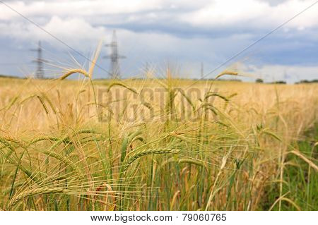 Harvest of wheat.