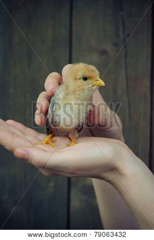 Hands hold caring for a small newborn chicken.