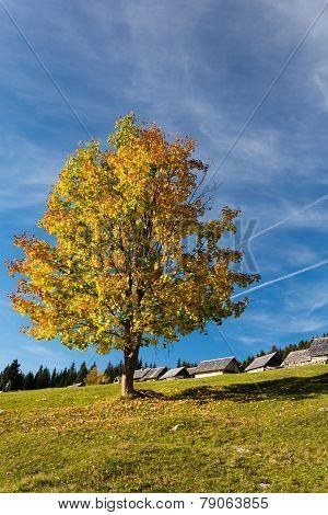 Colorful tree on plateau Pokljuka