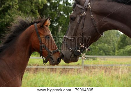 Big Black Horse And Small Cute Bay Foal Looking At Each Other