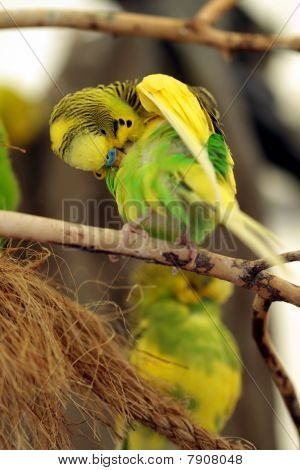 an exotic budgie bird