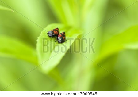 Blood cicadas couples