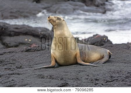 Galapagos Sea LIon on a Lava Bed on Fernandina Island poster