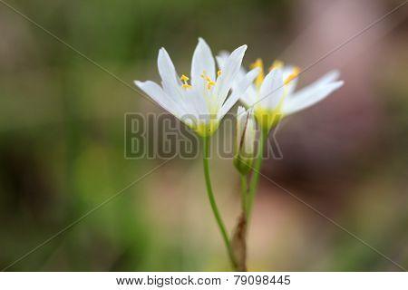 White Wildflower False Garlic: Nothoscordum Bivalve