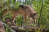 Grey Wolf (Canis lupus) and Pup Walk onto Rock - captive animals poster