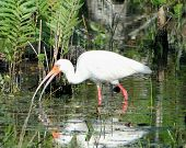 A white ibis wading and looking for food with reflection in the water. poster