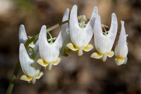 Dutchman's Breeches - Dicentra cucullaria