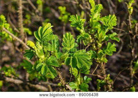 New Fresh Green Leaves Of A Budding Beach Rose Bush