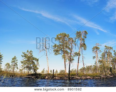 Pines On Northern Lake Coast