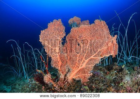 Large Seafan And Whip Corals