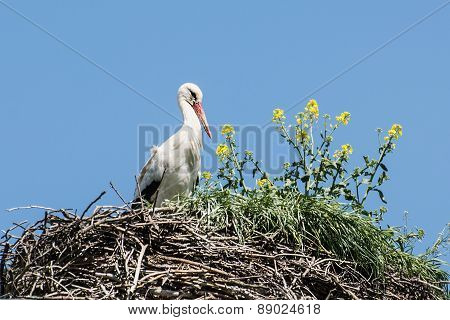 White Stork (ciconia Ciconia) In The Nest