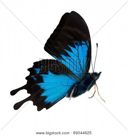 macro photo of blue butterfly isolated on white background