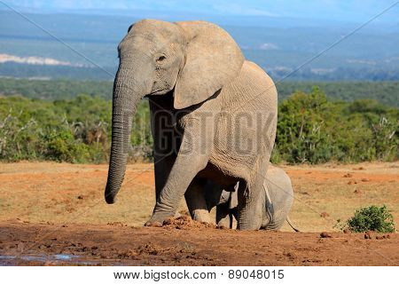African elephant cowl (Loxodonta africana), Addo Elephant National park, South Africa