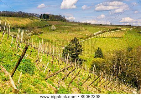 Vineyards Near Ribeauville In Haut-rhin, France