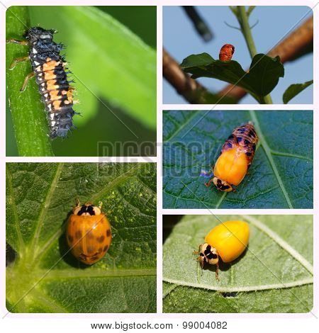A collage of a ladybird cycle