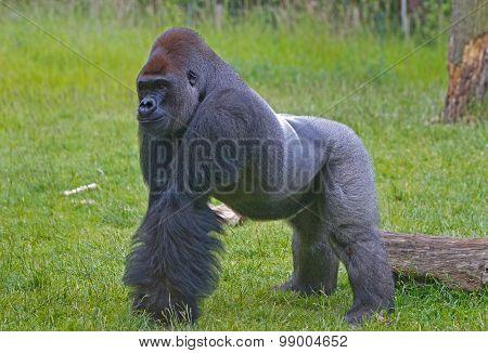 Large silverback gorilla walking in the grass