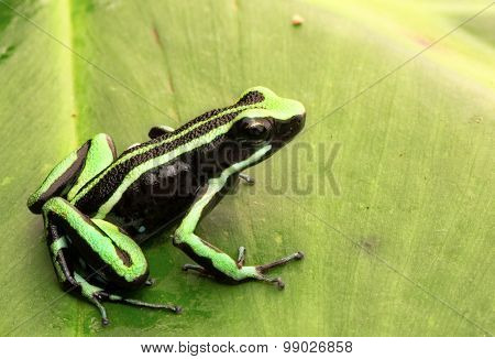 poison dart frog, Epipedobates trivitatus a tropical poisonous animal from the Amazon rain forest.