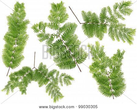 Original size Full Frame of the collected Dawn Redwood leaves twig of macro isolated on white background poster