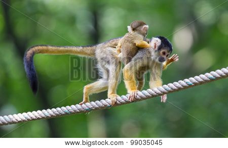 Small Common Squirrel Monkeys (saimiri Sciureus)