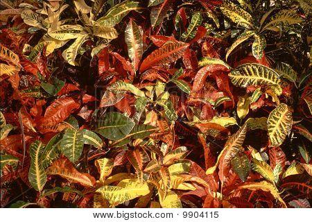 Colourful/colorful Crotons