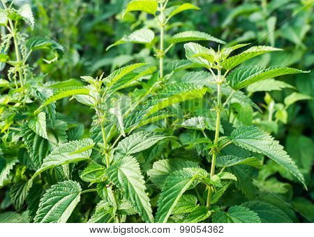 Common Stinging Nettle Weed With Background