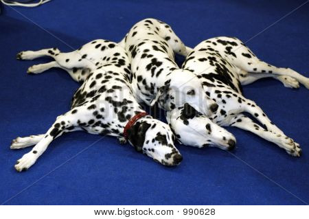 a dalmation dogs on the blue floor. poster