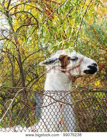 the classic white lama in the farm