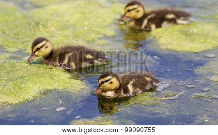 The Background With The Three Cute Young Ducks
