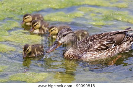 The Mother-duck And Five Of Her Chicks