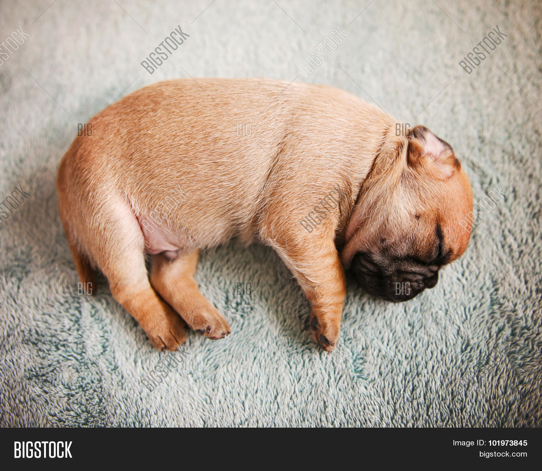 Tiny Baby Pug Chug Mix Image & Photo (Free Trial)   Bigstock