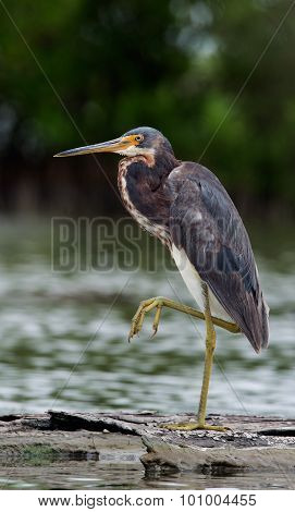 Tricolored Heron (egretta Tricolor) Wading In Shallow Water .