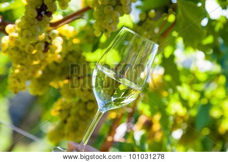 wineglass with wine in the vineyard of a winemaker. weingarten in autumn. ripe wine grapes