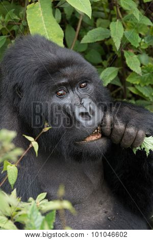 Close-up Of Silverback Gnawing Branch In Forest