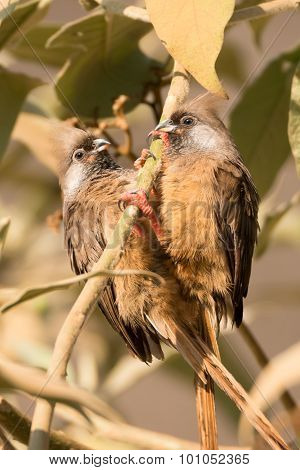 A pair of speckled mousebirds hang on to the same branch of a tree. They have dark brown wings paler brown breasts red legs grey speckled throats and black eyes with pale brown crests. poster