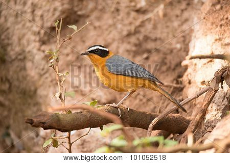 A white-browed robin chat is perched on a branch in front of a muddy bank. In the foreground is a tangle of branches. poster