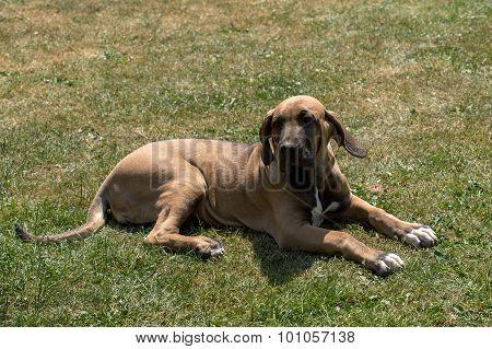 Puppy Of Fila Brasileiro (brazilian Mastiff)