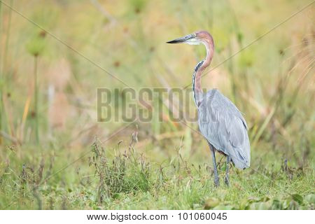Goliath Heron Perched In Undergrowth Near Lake
