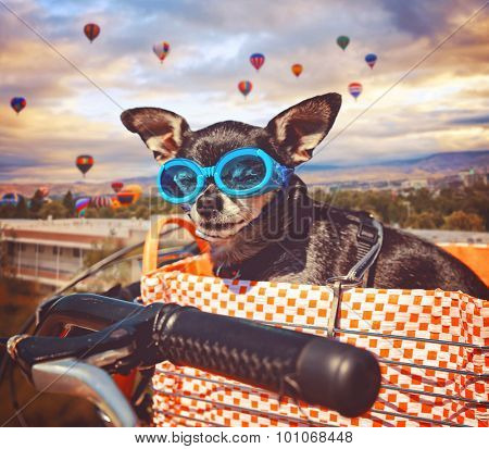a cute chihuahua in a bike basket with goggles on in front of a background full of hot air balloons during summer time toned with a retro vintage instagram filter app or action effect (SHALLOW DOF)