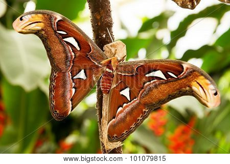 Tropical moth: Attacus Atlas with brown wings poster