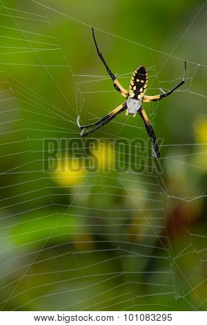 Black And Yellow Spider Close Up