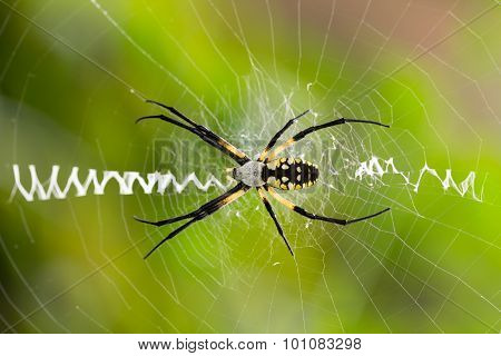 Close Up Of Argiope Spider On Web