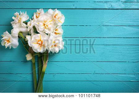 Fresh  Spring White  Daffodils Or Narcissus