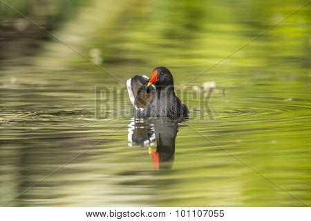 Moorhen, Gallinula chloropus, swimming on a pond