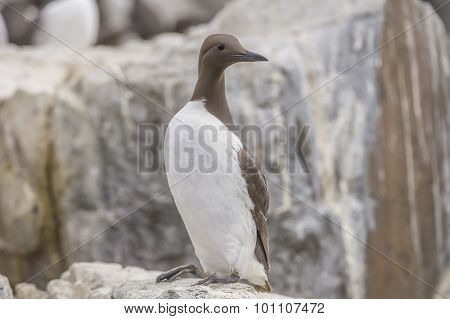 Common Guillemot Uria aalge standing on the edge of a cliff close up