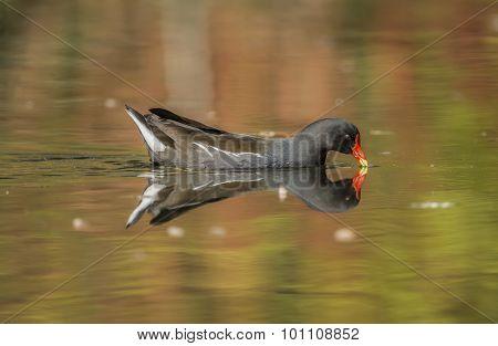 Moorhen, Gallinula chloropus, drinking water from a pond